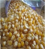 China Yellow Corn Maize,White Corn Maize,Sesame Seeds,Sunflower Seeds,Fresh Peanut,Jatropha Curcas Seeds,S Supplier